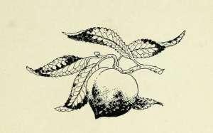 black and white vignette little peachling
